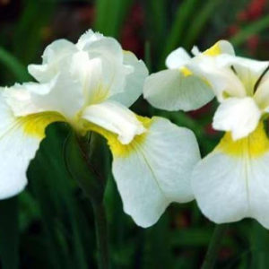 Ирис сибирский Iris sibirica Snow Queen