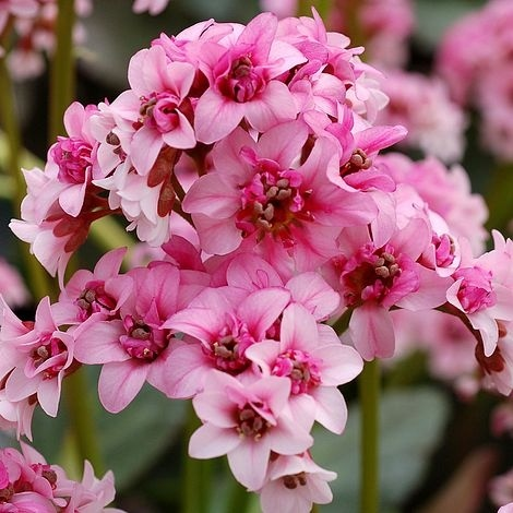 Bergenia hybride 'Pink Dragonfly',Бадан гибридный