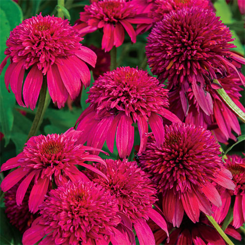 Эхинацея пурпурная Echinacea purpurea 'Double Scoop Cranberry'