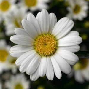 Leucanthemum x superbum 'Engelina' Ромашка(нивяник большой)