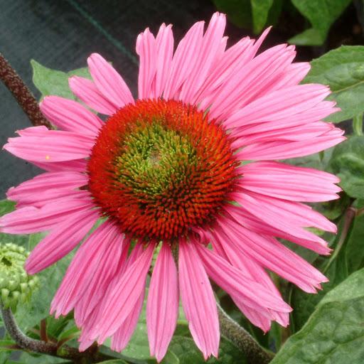 Эхинацея пурпурная Echinacea purpurea 'Green Eyes'