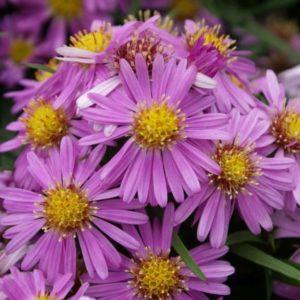 Aster dumosus 'Wood's Pink '