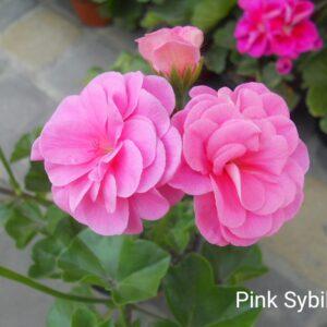 """Пеларгония """"Pink Sybil"""" плющелистная"""
