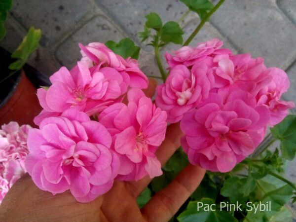 "Пеларгония ""Pac Pink Sybil"" ампельная"