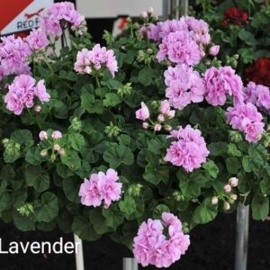 "Пеларгония ""Ivy Lavender"" ампельная"