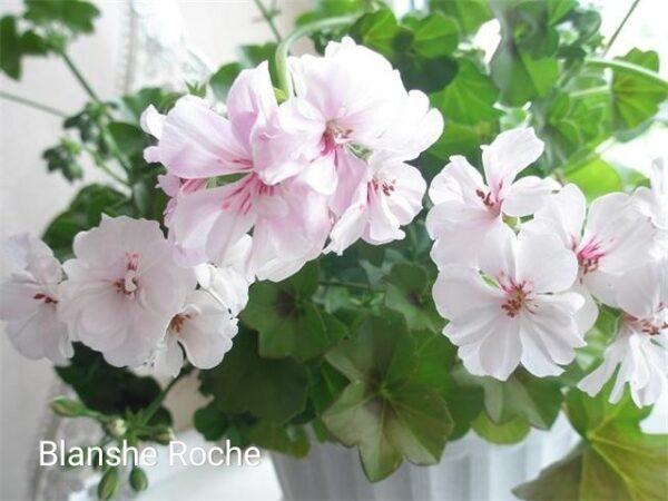 "Пеларгония ""Blanche Roche"" плющелистная"