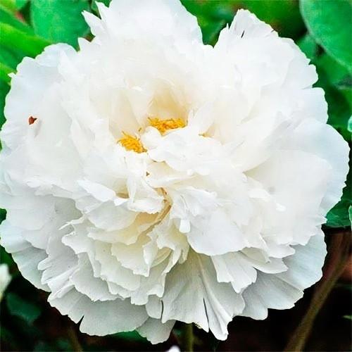"""Пион """"White Snow Bai Xue Gong Zhu"""""""