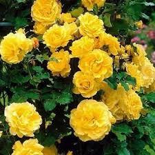 """Роза на штамбе """"sunspirit"""" шаровидная 3 летняя"""