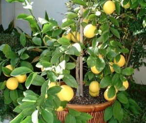 "Лимон ""Мейэра"""