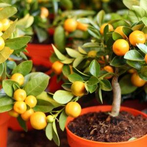 Цитрусовые и экзотические растения