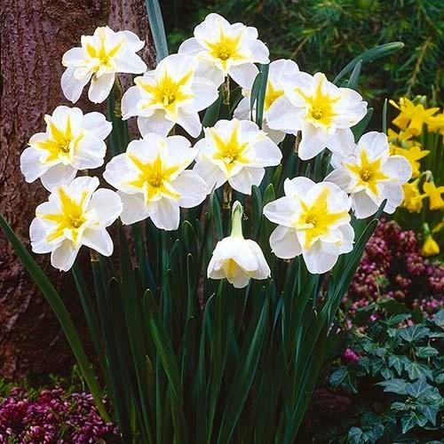 Нарцисс Lemon Beauty