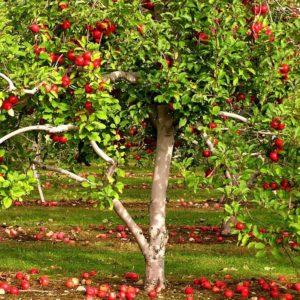 Крупномеры плодовых