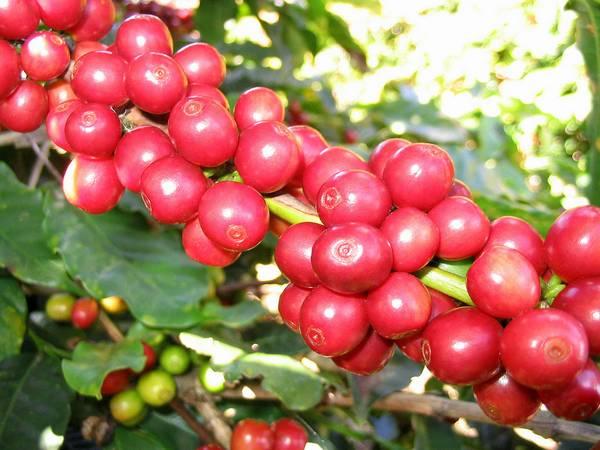 Кофе Арабика вечнозеленое