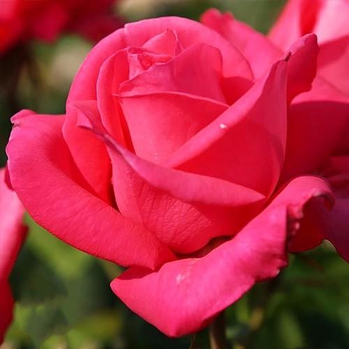Роза Cherry Lady Чери леди