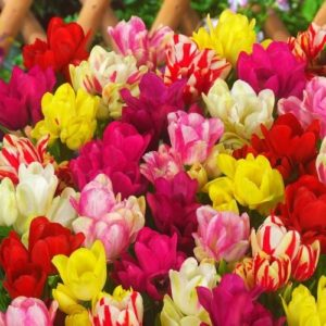 Тюльпаны Вариация Микс (луковицы) набор 15 шт