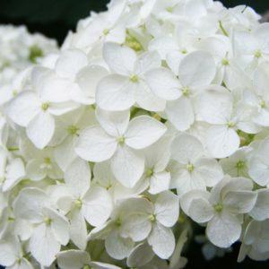 Гортензия крупнолистная белая «Bright White»