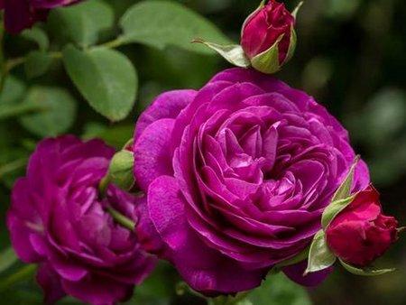 "Роза ""Биг пепл"""