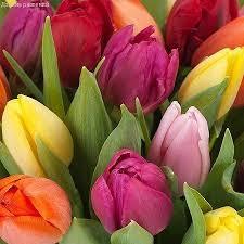 Тюльпаны Вариация Микс (луковицы) набор 5 шт