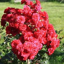 "Роза штамбовая ""Ред Бул"""