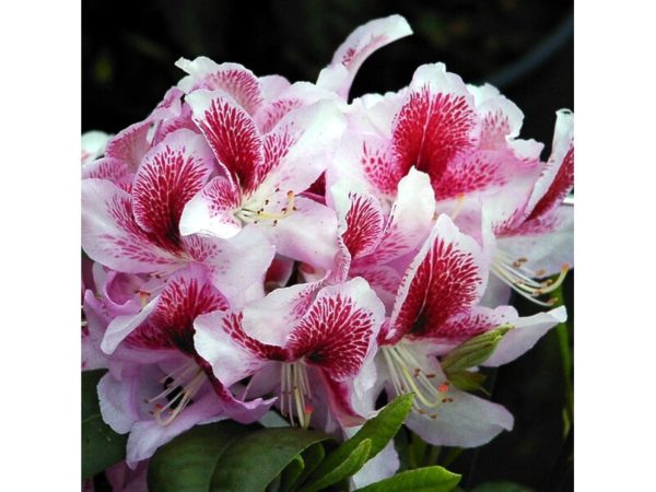 Растение Рододендрон Белами 7 ЦВЕТОВ