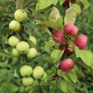 Яблоня дерево-сад «Глостер+Семеренко»