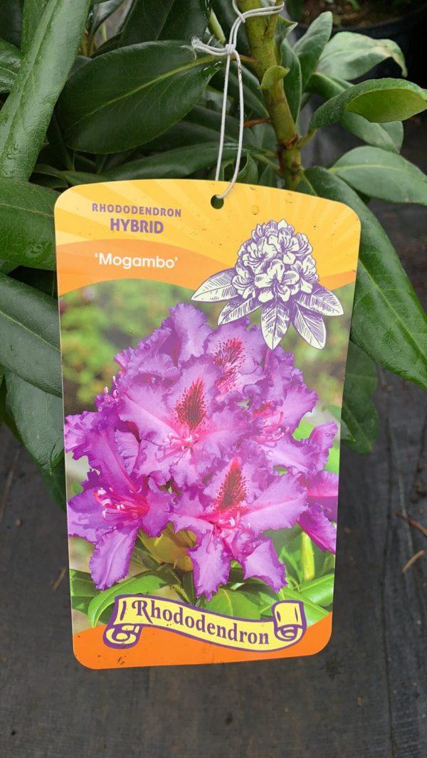 Рододендрон гибридный Могамбо