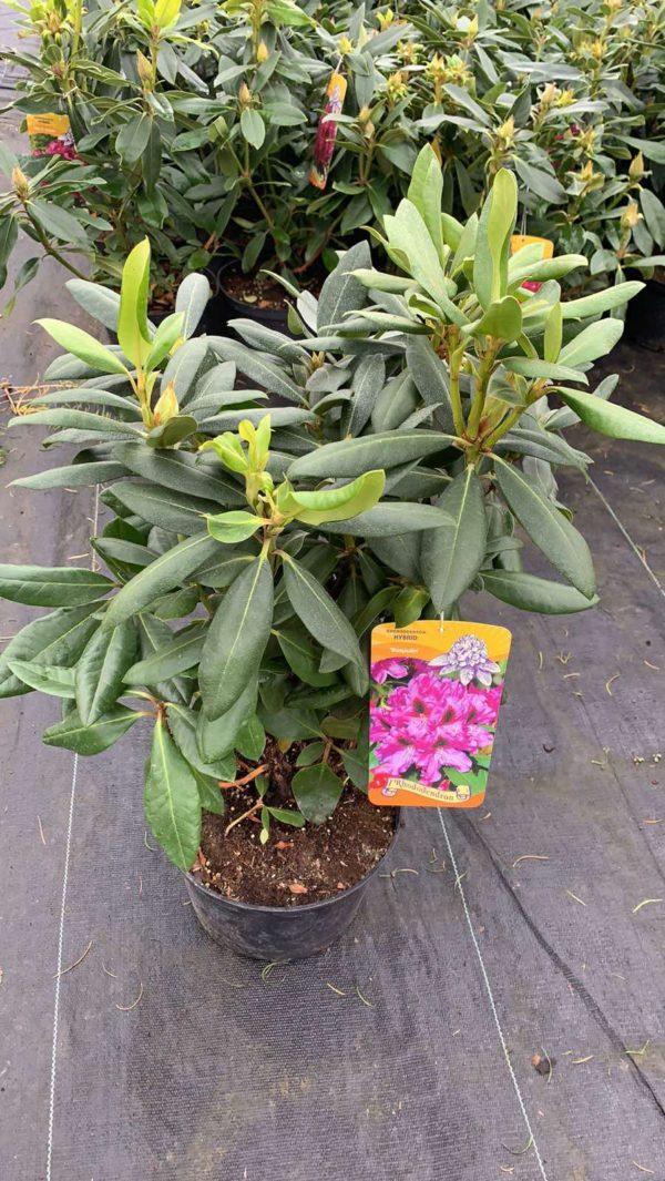 Рододендрон Распутин (Rhododendron Rasputin ) C4