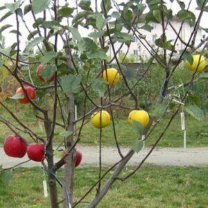 """Дерево-сад яблоня """"Деличия+Дельбара"""""""
