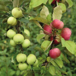"""Дерево-сад яблоня """"Антоновка+Виста Белла"""""""