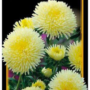 Семена цветов Астра Болеро Мидея