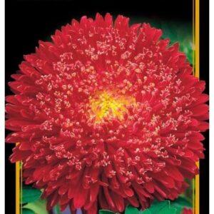 Семена цветов Астра Винная Ягода