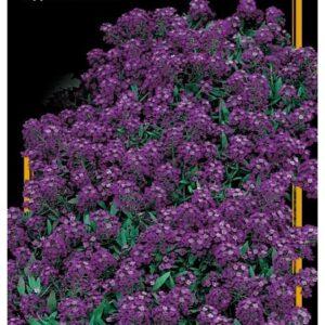 Семена цветов Алиссум Морской Королева