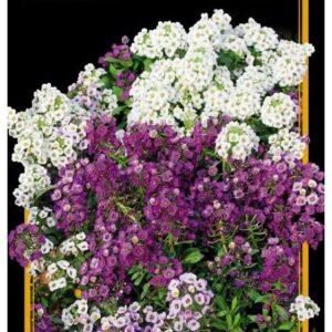 Семена цветов Алиссум Магический Круг