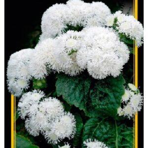 Семена цветов Агератум Белый Шар