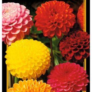 Семена цветов Георгины Смесь Помпонная Махровая