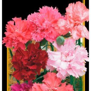 Семена цветов Гвоздика Гренадин Смесь