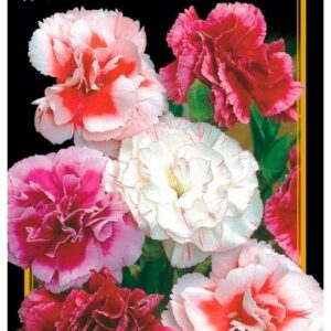 Семена цветов Гвоздика Шабо Cмесь
