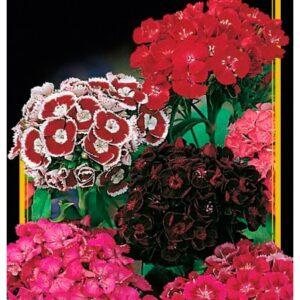 Семена цветов Гвоздика Турецкая Cмесь