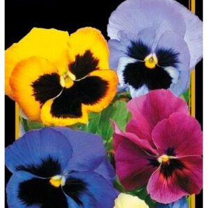 Семена цветов Виола Бархатная Смесь