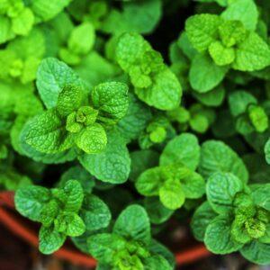 Мята Марокко  (Moroccan Mint Dry Tea Leaves & Liquor)