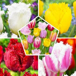 Набор тюльпанов 7  шт в упаковке (Микс средняя луковица)